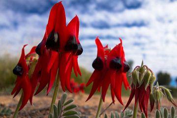 De Australische Sturts woestijn erwt Swainsona Formosa van