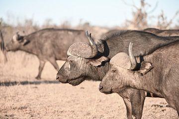 Afrikanisches Büffelpaar von Robert Styppa