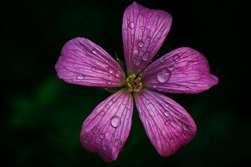 Kleine geranium sur