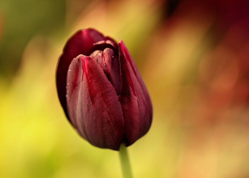 de tulp van Yvonne Blokland