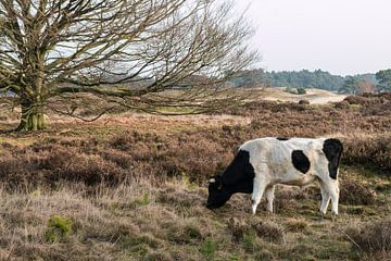 Wilde koe bij het Wekeromse zand. van Rijk van de Kaa