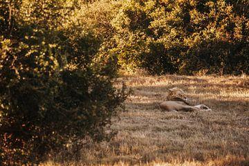 Der afrikanische Löwe der Big Five. von Floor Bogaerts