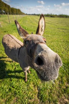 """Neugieriger Esel """"Pleun"""" bei Landerij de Park von Marco Willemsen"""