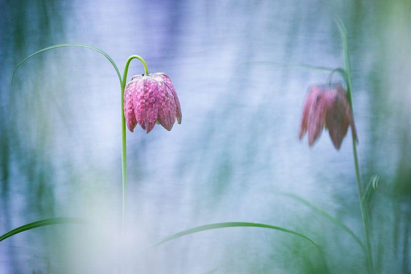 Twee kievitsbloemen bij het water van Pim Leijen