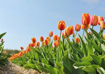 Tulpen van Leendert van Rossum