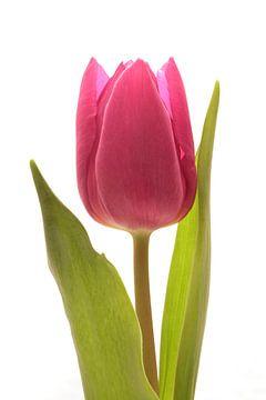 Rode Tulp sur Saskia Bon