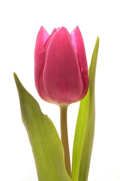 Rode Tulp van Saskia Bon