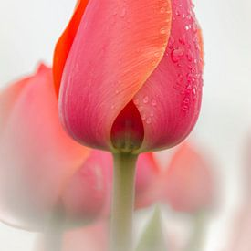 Tulp met regendruppels van Ans Bastiaanssen