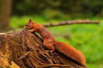 Eichhörnchen im Wald von Merijn Loch