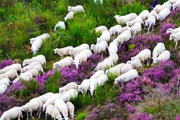 Schafherde, die sich durch das Heidekraut bewegt von Devin Meijer