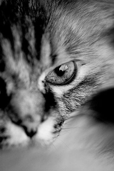 macro van poes kijkend in de lens
