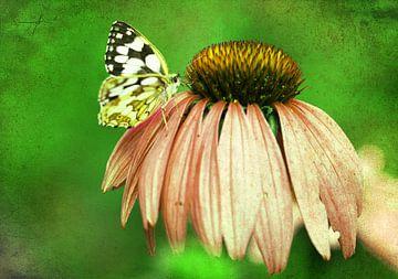Echinacea mit Schmetterling von Roswitha Lorz