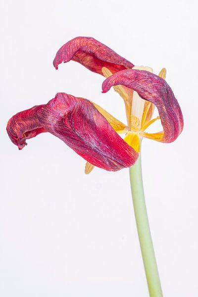 Kreukelige tulp 1. van Pieter van Roijen