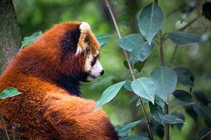 Rode panda in het bos, China