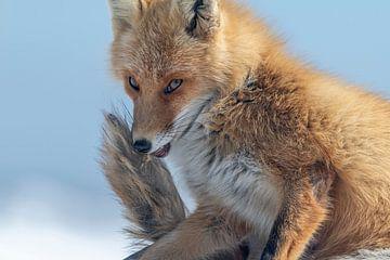 petit renard coupable sur Sven Scraeyen