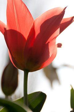 Tulip von Marco de Groot