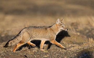 Patagonische vos aan de wandel van Lennart Verheuvel