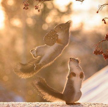 LP 71210787 Écureuil rouge tenant une pomme de pin avec un autre écureuil sur BeeldigBeeld Food & Lifestyle