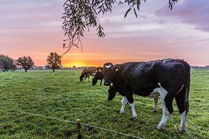 Koeien, Leiden