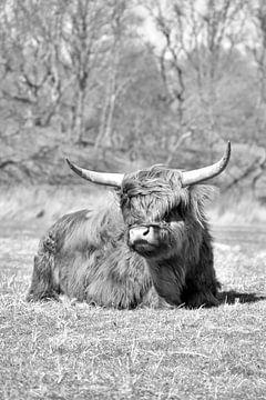 Schotse hooglander van Shutterbalance