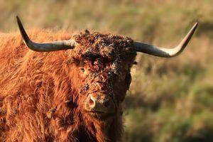 Vache Highlander écossaise