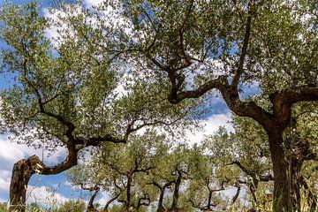 Olijfboomgaard van Ron van Ewijk