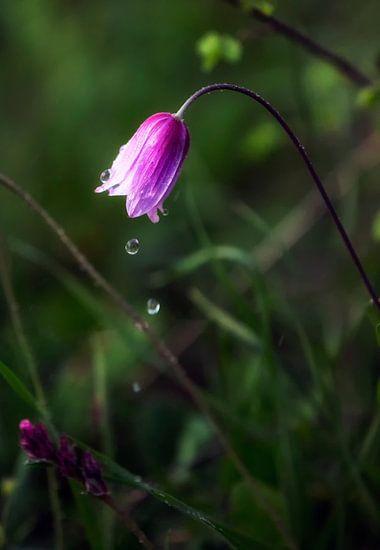 Anemonen Tränen