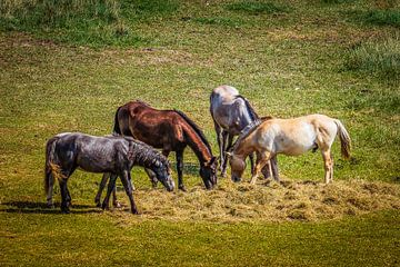 Paarden in Zeeland
