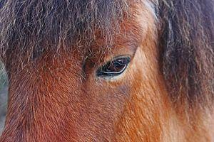 IJslands paard van