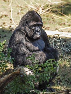 Gorilla : Safaripark Beekse Bergen von Loek Lobel