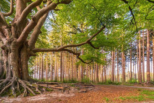 Een karakteristieke beukenboom in Bakkeveen.