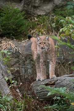 Luchs / Eurasischer Luchs (Lynx lynx) in seiner natürlichen Umgebung, fesselnder Blickkontakt, Europ von wunderbare Erde