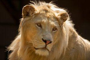 Witte leeuw kijkt om.
