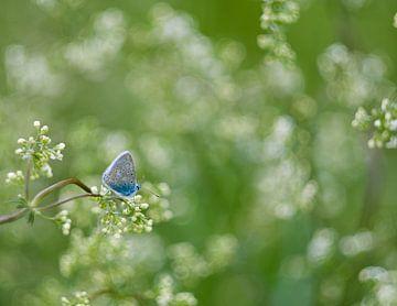 Ikarusblau, blauer Schmetterling in traumhaft weisser Blüte von JM de Jong-Jansen