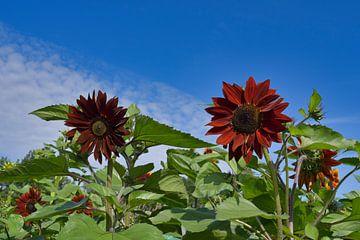 Een rood veld van zonnebloemen van J..M de Jong-Jansen