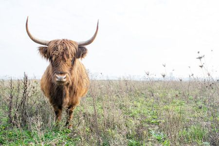 Schotse hooglander 005 van Carola Stroy