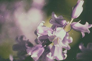 Bells hyacint van Christine Nöhmeier