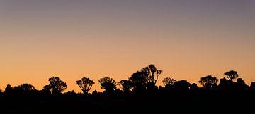 Köcherbäume im Abendlicht von Denis Feiner