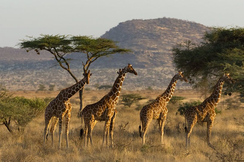Giraffe van Gerwin Hoogsteen
