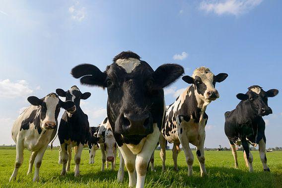 Gruppe von Kühen auf einer Wiese, die in die Linse schauen.