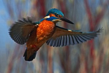 IJsvogel - Biddend voor de duik van Audrey van der Hoorn