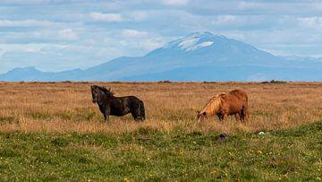 Island Pferde von Thomas Heitz