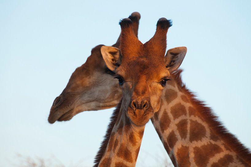 Nieuwsgierige giraffe van Remco Siero