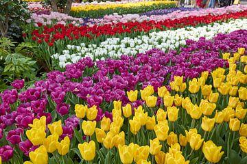 Tulpen in den Niederlanden von Jolene van den Berg