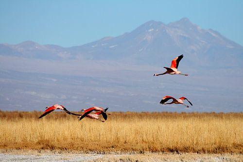 Andes Flamingo von Antwan Janssen