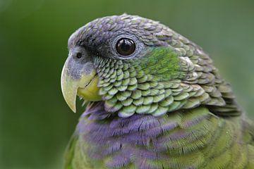 Chico de papegaai van Birdy Flying