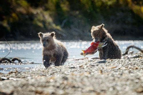 Twee jonge grizzly beren  van
