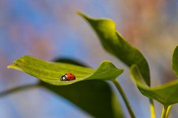 Lieveheersbeestje tussen de bladeren van Annika Westgeest Photography