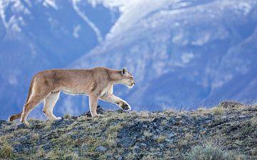 Puma in den Bergen von Lennart Verheuvel