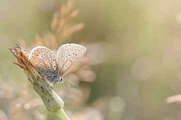 Zonnebadende vlinder ... (vlinder, Zomer, natuur) van Bob Daalder